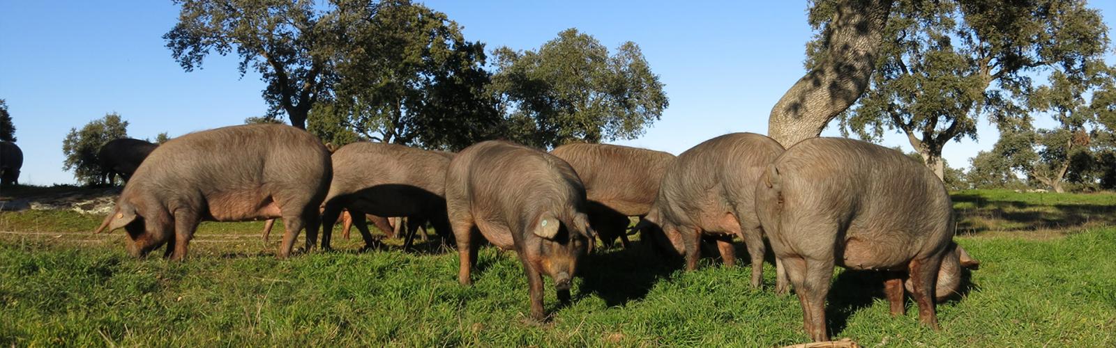 Cerdos ibéricos Jamivi
