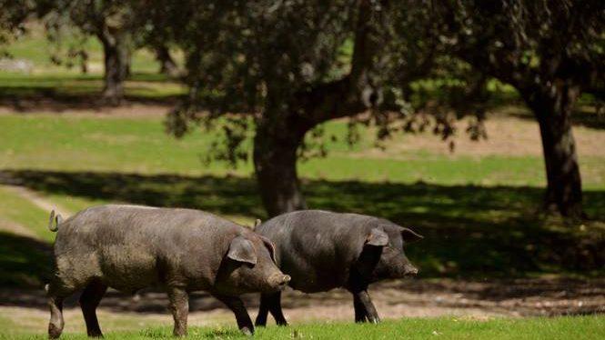 alimentación en dehesa montanera jamivi-jamon iberico de bellota de villanueva de cordoba